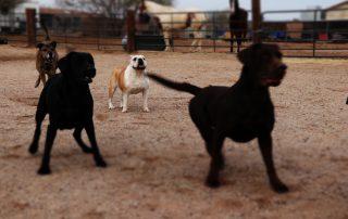 Phoenix Lab Puppies